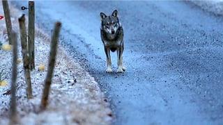 Wild auf den Wolf? Eine Gratwanderung durchs Calandagebiet