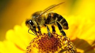 Warum sterben Bienen?