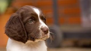 Viele Online-Hundeinserate verstossen gegen das Gesetz