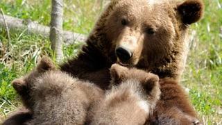 Sind Braunbären wirklich putzig?