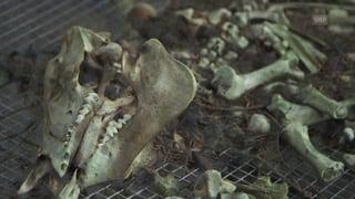 Wie tote Schweine helfen, künftige Kriminalfälle aufzuklären