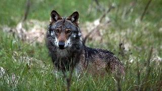 Toter Wolf aufgefunden