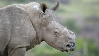 Wozu brauchen Chinesen Nashorn-Hörner, Herr Aldrovandi?