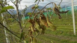 Zezras: 1'200 mailers han arsira da plantas