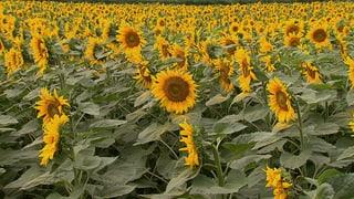 Video «Pestizide – unheimlich wirksam: Landwirtschaft ohne Gift (3/3)» abspielen