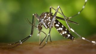 Die unnötige Angst vor der Tigermücke