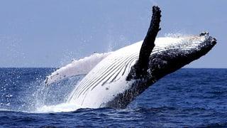 Japanische Walfänger werden zurückgepfiffen