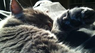 Die Katze statt den Menschen impfen