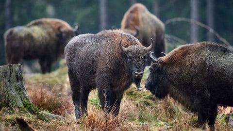 Viele Einsprachen gegen das Gehege für die Ur-Rinder (Artikel enthält Audio)