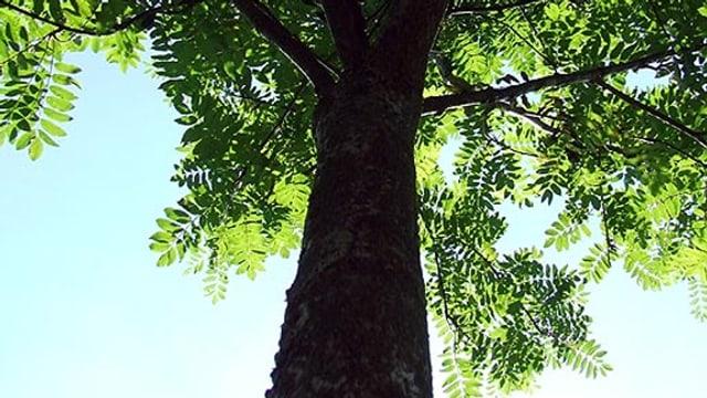 Die Esche steht am Ursprung des Familiennamens Aeschlimann.