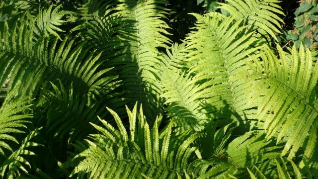 Farne eignen sich bei alten Bäumen bestens als Unterpflanzung.