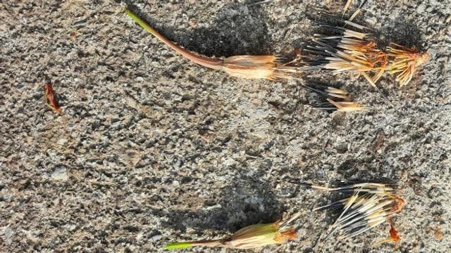 Blumensamen wie Tagetes-Samen lassen sich im Herbst gut sammeln und im nächsten Jahr ansäen.