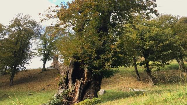 Kastanienselve in Soazza mit circa 700-jährigem Baum