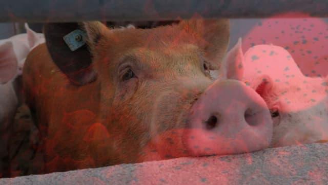 Schweinefleisch ist das beliebteste Fleisch in der Schweiz.