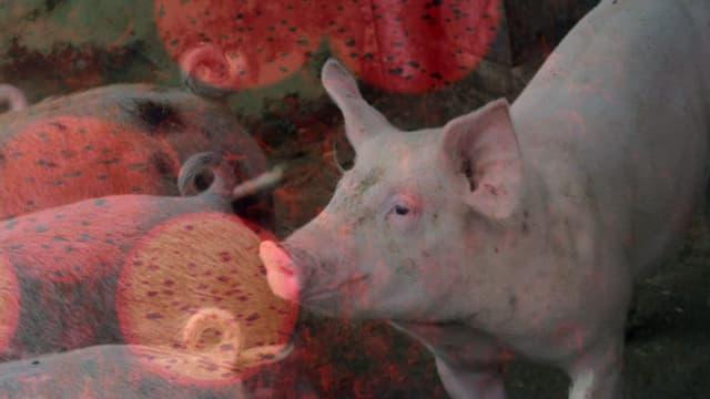Wie geht es den 1,4 Millionen Schweinen im Land?