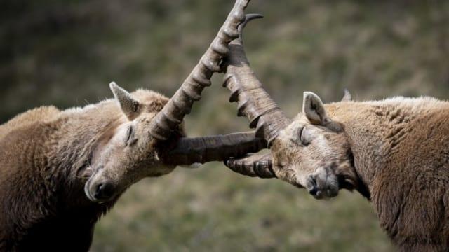 Steinböcke im Visier - Jagdtourismus im Wallis sorgt für Kritik.