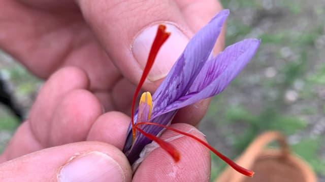 Eine Safranpflanze.