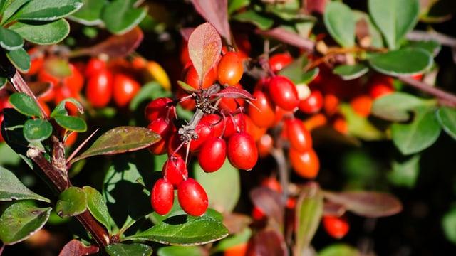 Goji-Beeren enthalten wichtige Nähr- und Vitalstoffe.