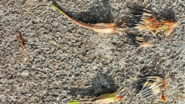 Blumen-Samen wie zum Beispiel von der Tagetes lassen sich im Herbst gut sammeln und im nächsten Jahr ansäen.