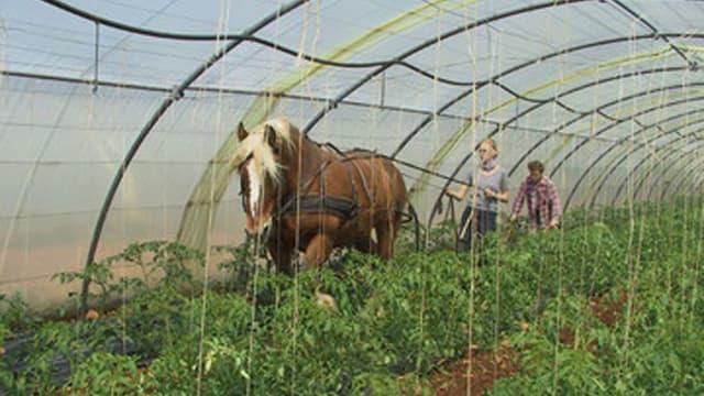 Ein Pferd zieht in einem Gewächshaus einen Pflug.