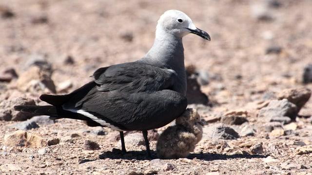 Ein Vogel mit einem Küken in karger Landschaft.