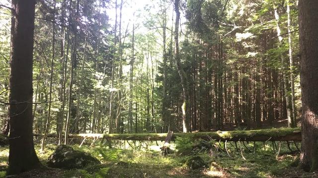 Ein umgestürzter Baum wird im Waldreservat liegen gelassen.
