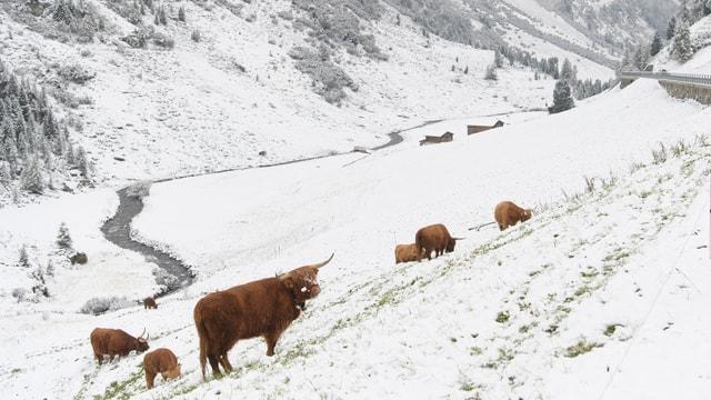 Hochlandrinder stehen im Schnee, dahinter Strasse und Berg