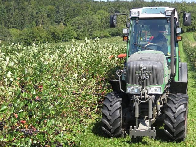 Traktor bei der Aronia-Ernte