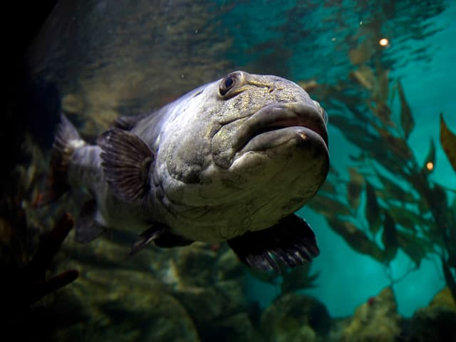 Mächtiger grau-blauer Wolfsbarsch zieht seine Runden durch ein Aquarium.