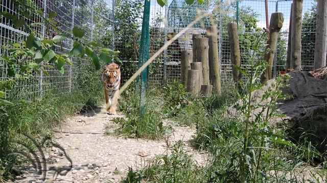 Ein Tiger in einem Gehege.