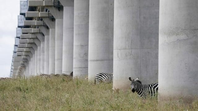 Zebras im Nationalpark von Nairobi