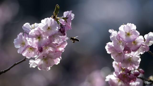 Bild von Bienen bei der Bestäubung.