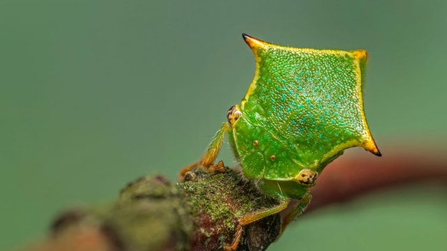 ein giftgrüner Käfer sitzt auf einem Zweig