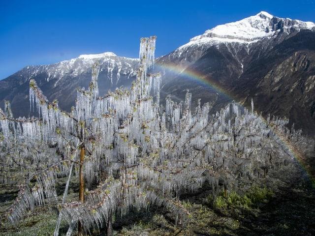 Eiskristalle auf einem mit Wasser besprühten blühenden Aprikosenbaum, im Hintergrund ein Regenbogen vor Bergpanorama