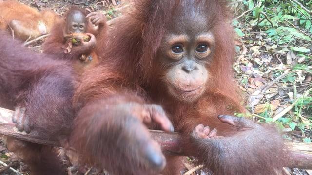 Orangutan-Babys