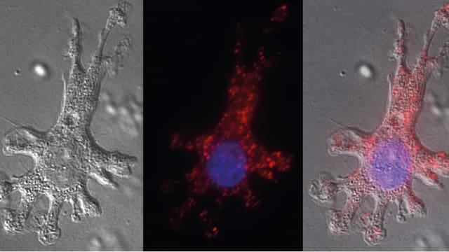 Dendritische Zelle