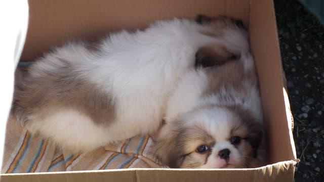 Zwei Hundewelpen in einer Kartonschachtel