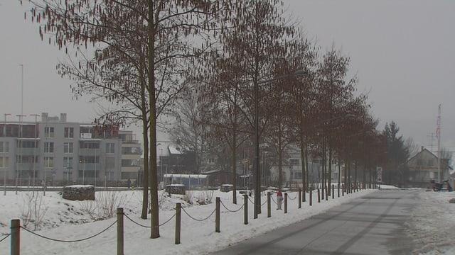 Sibirische Erlen entlang einer Schweizer Strasse