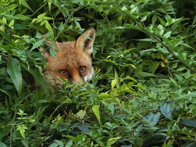 Fuchs schaut aus einem Busch