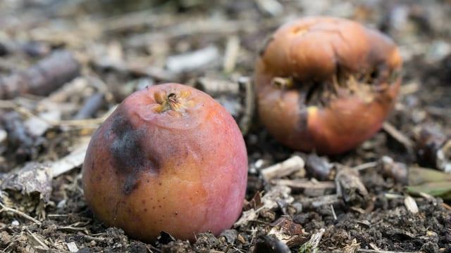 Faule Früchte liegen am Boden.