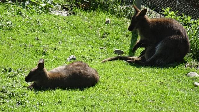 Era animals exotics, sco il kenguru, chatt'ins en il zoo.