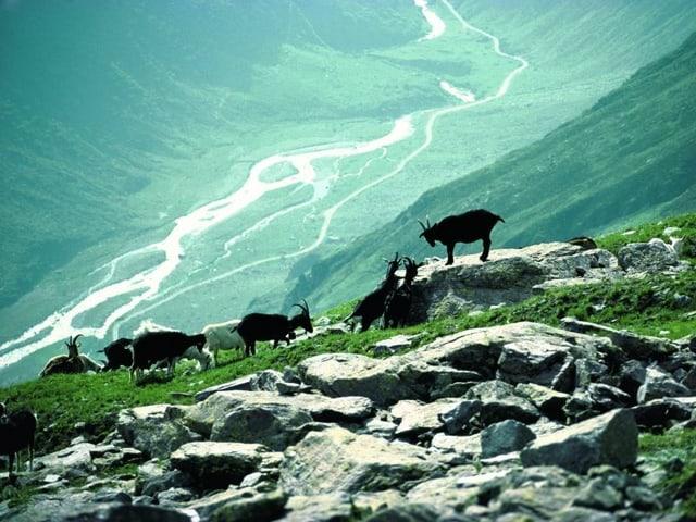 Vorne im Bild zehn Ziegen, im Hintergrund: Blick runter ins Tal