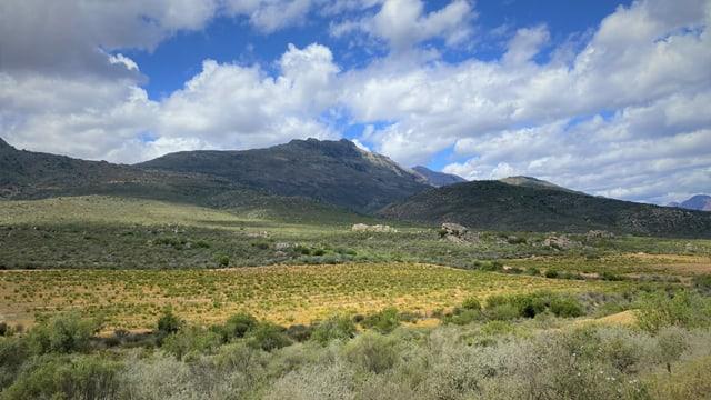 Grossaufnahme eines Rooibos-Feldes in den Cederbergen Südafrikas.