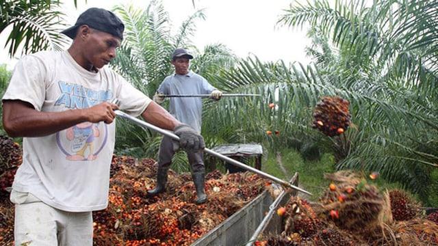 Arbeiter auf einer Palmölplantage in Malaysia