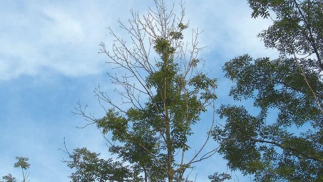 Ein Baum mit dürrer Krone.