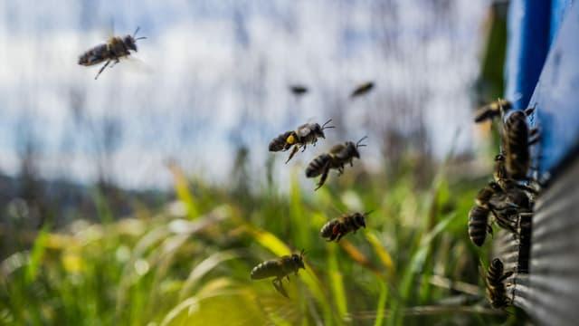 Jetzt schwärmen auch die Bienen wieder aus, wie hier in Egolzwil.