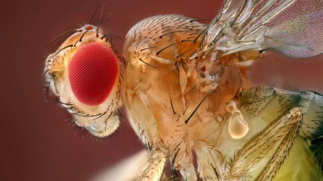 Makrofotografie einer Fruchtfliege
