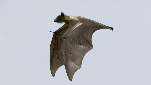 Ein fliegender Palmenflughund.