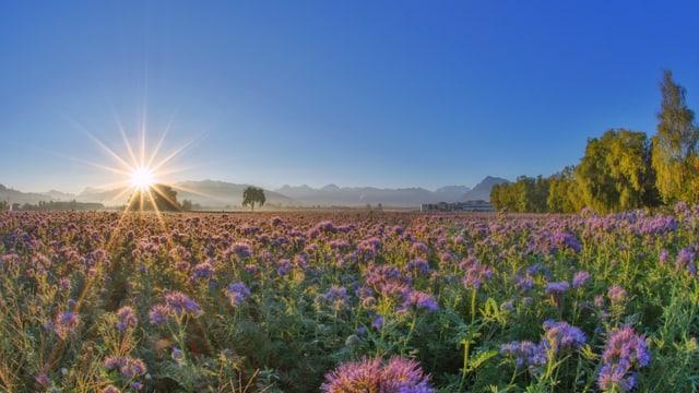 Blumenfeld, dahinter aufgehende Sonne am blauen Himmel.