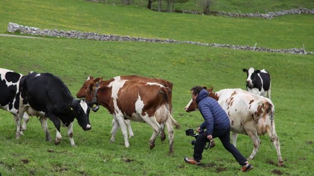 Kameramann rennt durch eine Kuhweide mit einer Handkamera.